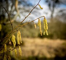Catkins by mlphoto