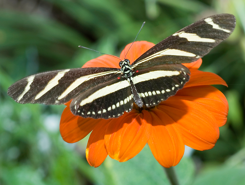 Zebra Longwing Butterfly. by Eyal Nahmias