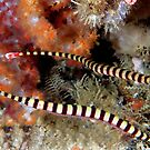 Banded Pipefish by MattTworkowski