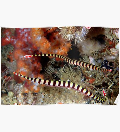 Banded Pipefish Poster