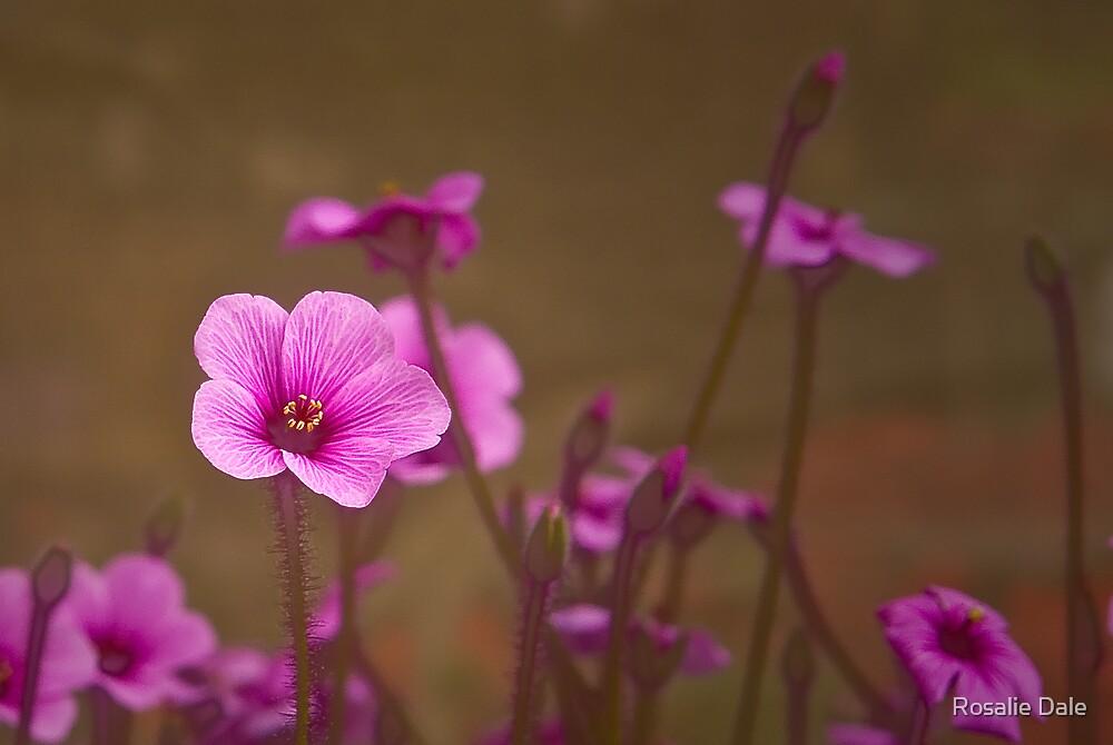 Geranium No 1 by Rosalie Dale