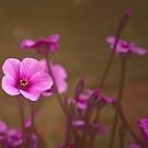 Geranium No 1 by Rosalie Dale