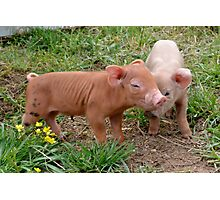 Wee Piglets Photographic Print