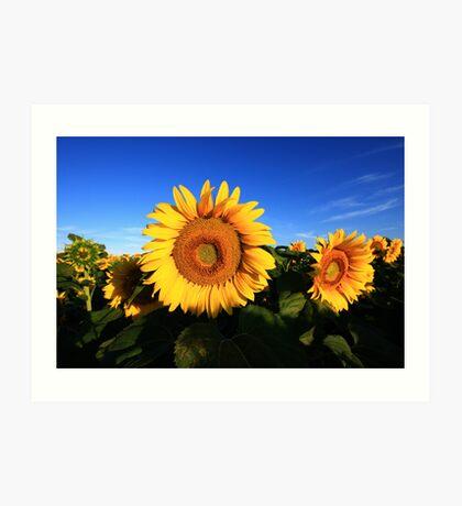 Sunflower in a field, blue sky Art Print