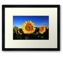 Sunflower in a field, blue sky Framed Print