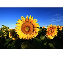 Sunflower in a field, blue sky Photographic Print
