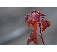 Maple Sprout Photographic Print