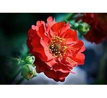 Geum Mrs Bradshaw Photographic Print