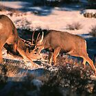 FIGHTING MULE DEER BUCKS by Chuck Wickham