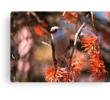 GRAY JAY,YELLOWSTONE NP Canvas Print