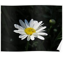 Mr. Fly on a Summer Daisy Poster