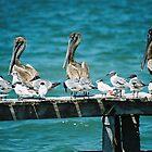 Pelicans by julie08