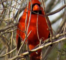 A Male Cardinal Sits Proudly in the Thickets Sticker