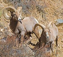 Pair of Rams by Gary Lengyel