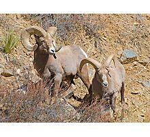 Pair of Rams Photographic Print