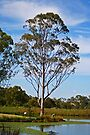 Eucalytus Tree by Evita
