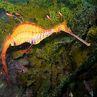 Weedy Sea Dragon by Edjamen