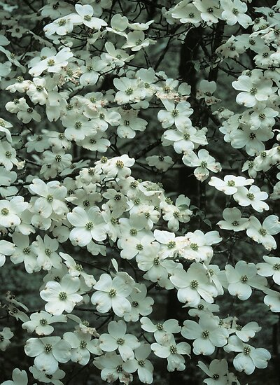 DOGWOOD TREE by Chuck Wickham