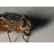 Blow Fly Photographic Print