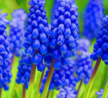 Muscari - Impressions Of Spring Sticker