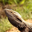 Bearded Dragon (_Pogona barbata_) by tarnyacox