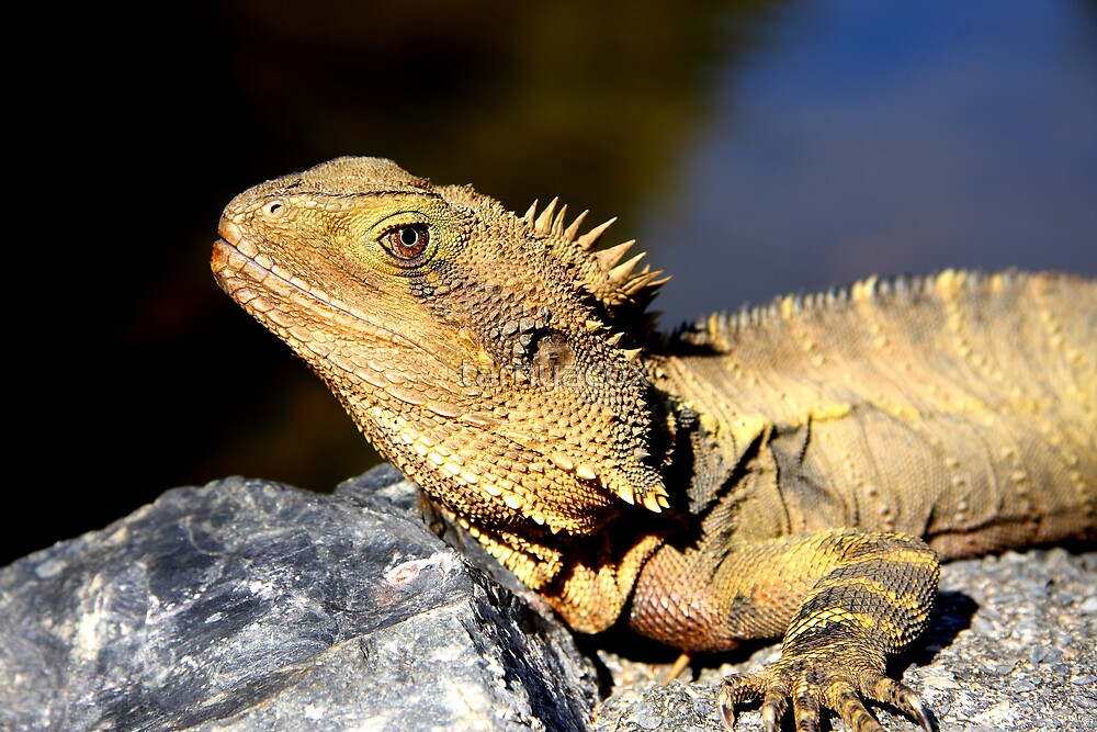 Water dragon up close (_Physignathus lesueurii lesueurii_) by tarnyacox