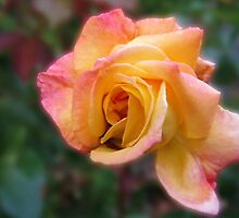 In Dreams - Gorgeous Peach Rose by kathrynsgallery