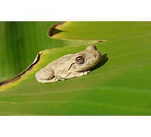 Northern Laughing Tree Frog, Litoria rothi Photographic Print