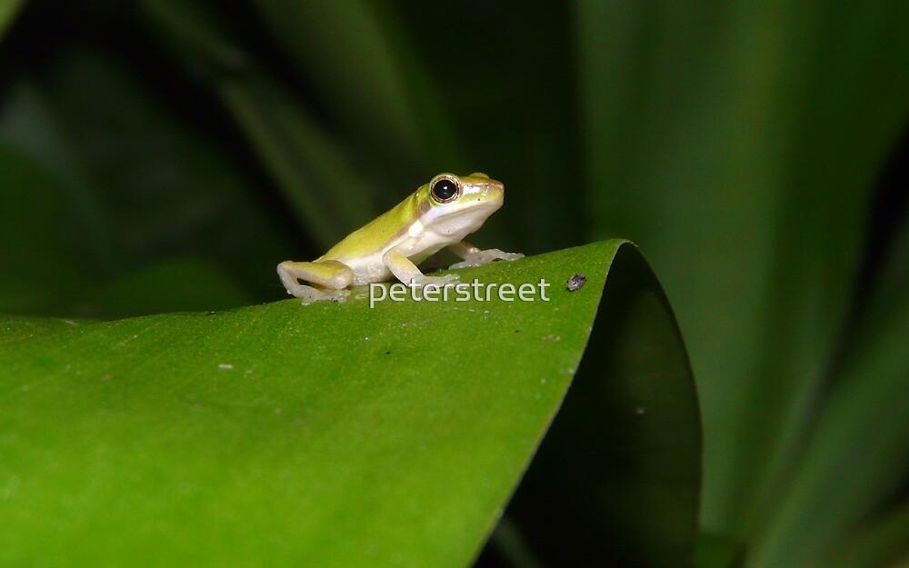 Eastern Dwarf Tree Frog, Litoria fallax by peterstreet