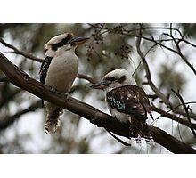 Kookaburras Hunting Photographic Print
