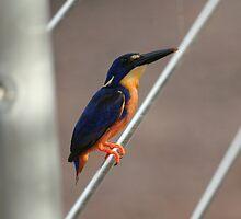 Azure Kingfisher by Stuart Cooney