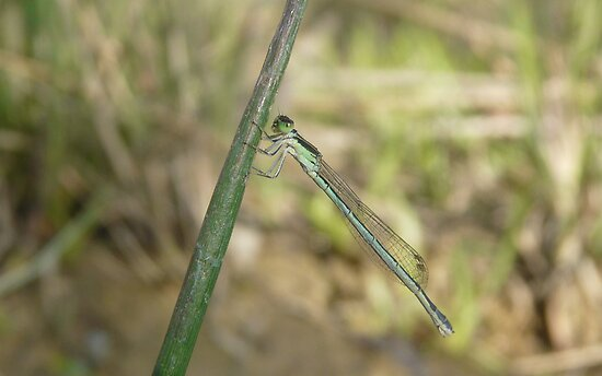 Damselfly by peterstreet