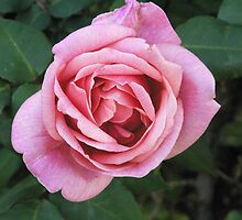 Just a Rose by Fiona Mulholland