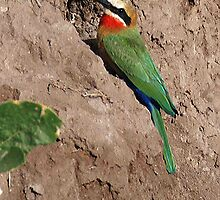 White Fronted Bee Eater ,Chobe National Park, Botswana, Africa by Adrian Paul