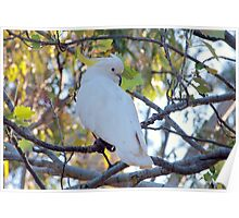 Australian Sulphur Crested Cockatoo Poster