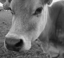 Cow by Talia Knight