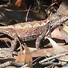Mountain Heath Dragon, Rankinia diemensis by peterstreet