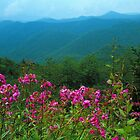PHLOX ALONG BLUERIDGE PARKWAY by Chuck Wickham