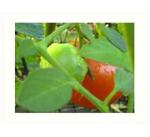 Fresh Tomatoes in a cage Art Print