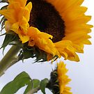 Sunflowers by mikequigley