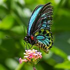 Richmond Birdwing Butterfly by Teale Britstra