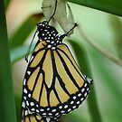 New Monarch  by Donna Adamski