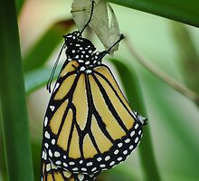 New Monarch  by Donna Adamski