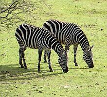 Zebras in Spring by ienemien