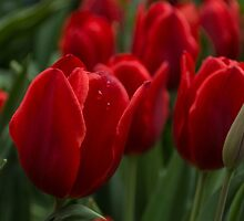 Vibrant Red Spring Tulips by Georgia Mizuleva