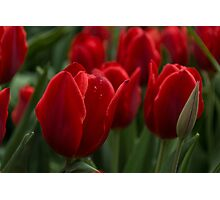 Vibrant Red Spring Tulips Photographic Print
