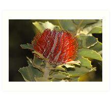 Scarlet Banksia(B coccinea) Art Print