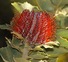 Scarlet Banksia(B coccinea) by Melva Vivian