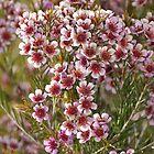 Large Waxflower(Chamelaucium megalopetalum) by Melva Vivian