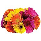 Gerbera Daisies Mixed Colors by Susan Savad